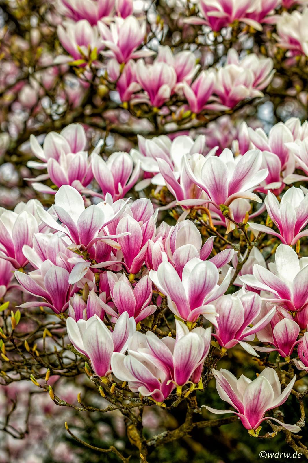 Ganz und zu Extrem Magnolienbaum - Bilder von Budenheim &UF_78