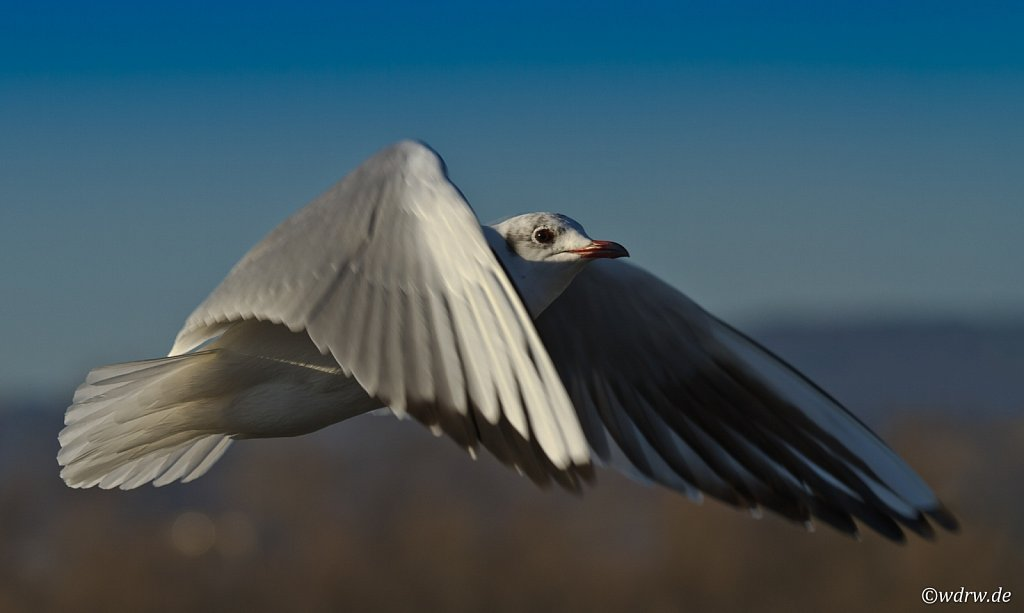 Möwe mit toller Flügelstellung