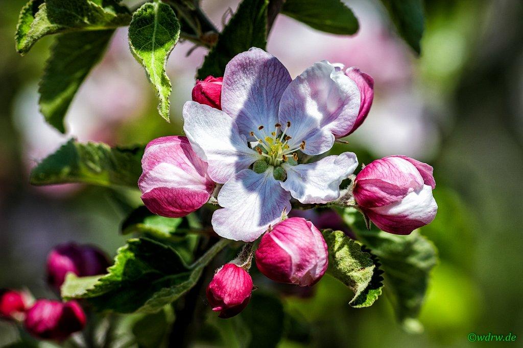 Apfelblüten (Obstbau Michael M. Bitz)
