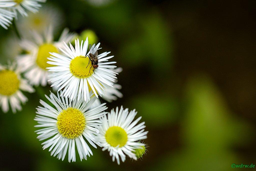 Fliege auf Wiesenblumen
