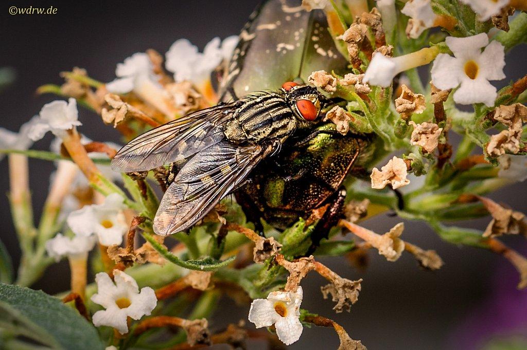 Fliege parkt auf Goldglänzender Rosenkäfer