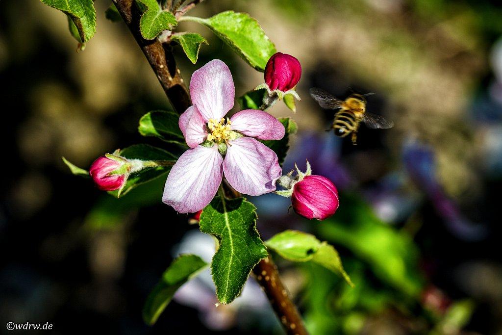 Biene auf  Abflug von der Apfelblüte
